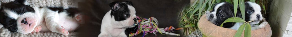 Boston terrier puppies en pubs