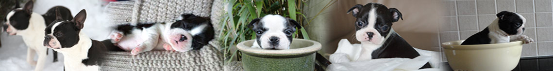boston terrier honden en pubs